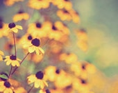 black-eyed susan flower photography, botanical photography, summer, gold, golden, mustard yellow, nature photography / bright eyed /