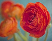 still life photography / botanical vibrant orange red ranunculus flower aquamarine robins egg blue / brights / 8x12 fine art photo