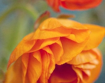 ranunculus flower botanical photography / mustard yellow, orange, red, nature, robins egg blue, green / yellow ruffles / 8x10 fine art photo