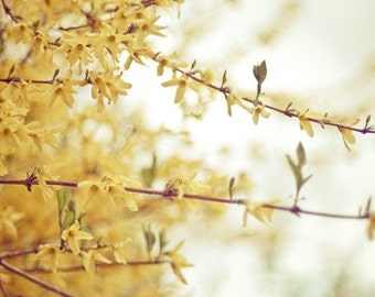 forsythia nature photography / botanical phootgraphy, spring, yellow, fall colors, mustard yellow / 8x10 fine art photo