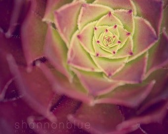 succulent botanical photography, nature photography, plant, wine / inner glow / 8x10 fine art photograph