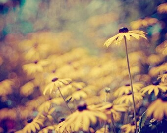 summer flower nature photography / black-eyed susans, yellow, mustard, jewel tones, field, bokeh / susan / 8x10 fine art photo