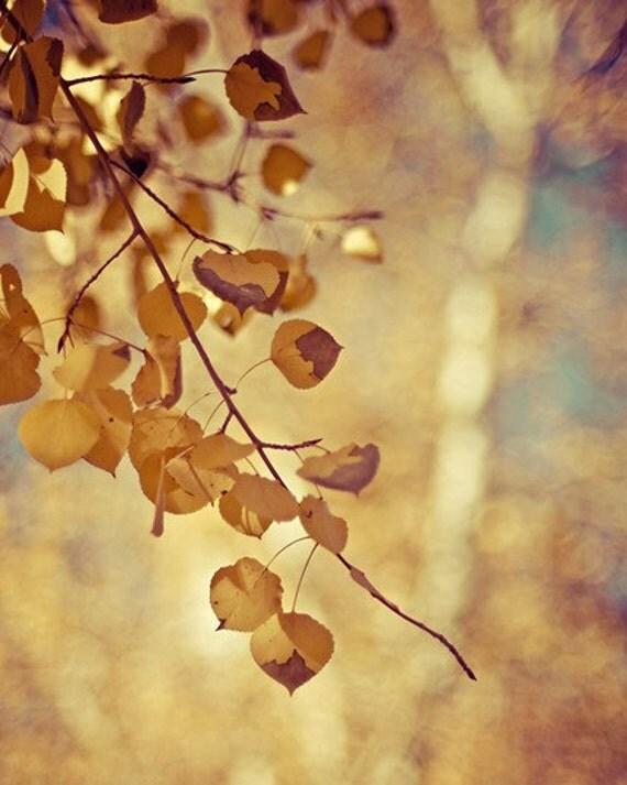 autumn nature photography / aspen, fall, gold, golden, yellow, fall foliage / shimmer / 8x10 fine art photo
