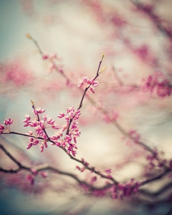 zen pink blossom spring nature photography / bloom, flower, redbud, robins egg blue  / a pink day / 8x10 fine art photo