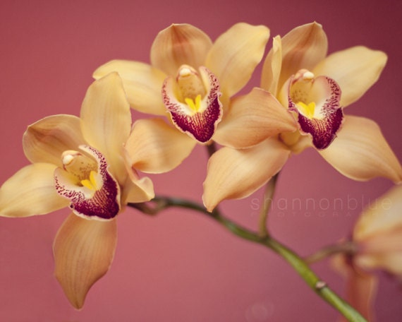 botanical orchid photograph / flower, nature, yellow, plum, pink, spring, cheerful / yellow orchids no. 4 / 8x10 fine art photo