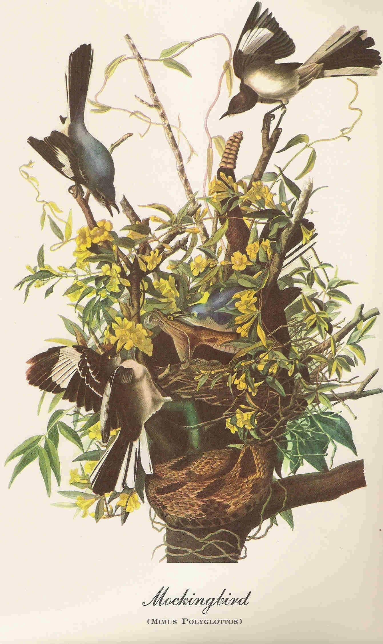 Audubon Mockingbird Bird Print Of Original Painting By Famous