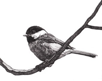 Pen and Ink Drawing Reproduction Black-capped Chickadee Print