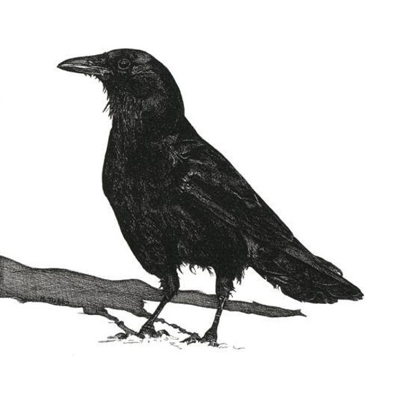 Pen and Ink Drawing Black Crow Reproduction Print Art