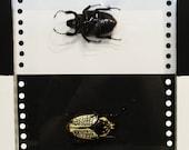 Domino Goliath Beetles