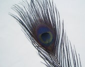 LOT OF 5 - Dyed Black Peacock Feathers