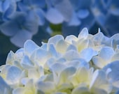 Not in full bloom yet, Blue Hydrangea No 2 5x7 fine art print