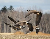 Spring migration Of Canada Geese, Geese in flight, 5x7  fine art print - artyecological