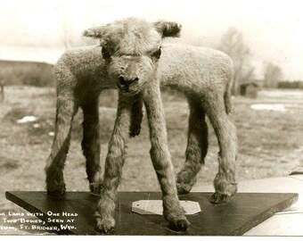 Freak Lamb - Two Bodies One Head - Vintage RPPC