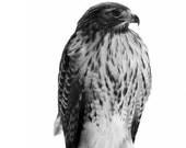 Hawk Portrait Photo - 8x10 Black and White Bird Nature Photography Fine Art Print