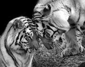 Tiger Love Photo No. 1 - 8x10 Black and White Animal Nature Wildlife Photo Print - Gift for Him or Her Under 20