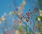 Red Berries Agaist Blue Sky - 8x10 Color Nature Photography Print