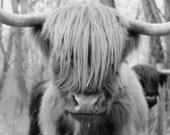 Hairy Cow Photo - Scottish Highland Cattle - 8x10 Black and White Farm Animal Photography Print - Rustic Home Decor