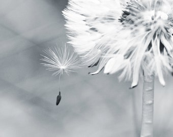 "Soft Dandelion Macro - ""Make a Wish"" - 8x10 Black and White Nature Photography Print"