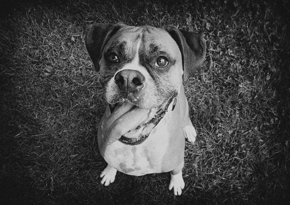 Happy Boxer Dog Smiling - 8x10 Black and White Photography Print