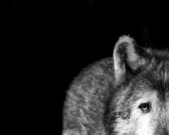 "Gray Wolf Stare Photo - ""I've Got My Eye on You"" - 8x10 Black and White Animal Photo Print - Minimal Black Background"