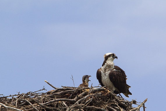 Osprey Family - Mother and Chick - 8x10 Color Bird Nature Photography Print - Raptor Bird of Prey Wildlife