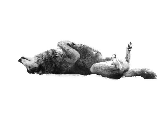 Wolf Photo Grey Wolf Laying on Back 8x10 Black and White