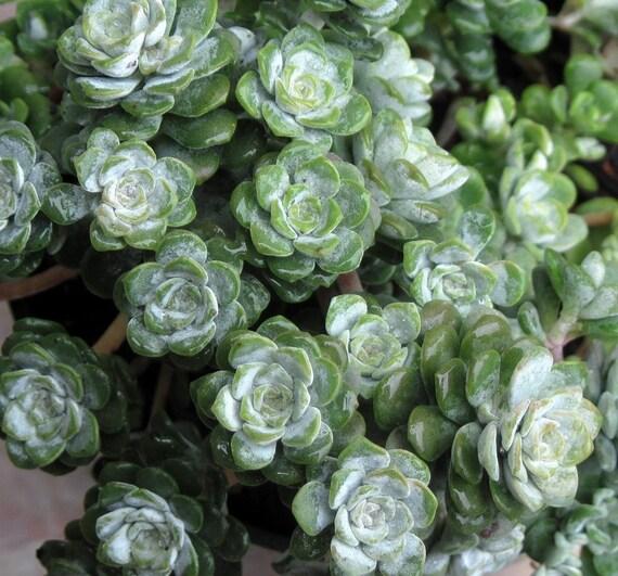 Sedum spathulifolium 'Cape Blanco' -      Succulent Plant      Stonecrop