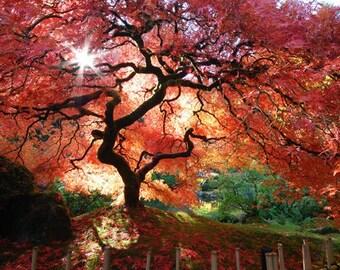 Japanese Maple Fine Art  Digital Photographic Print 13x19