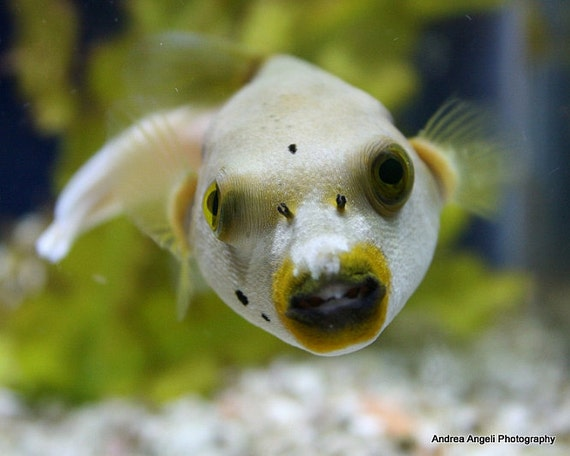 Dog face puffer matted fine art photo by angelstime on etsy for Dog face puffer fish