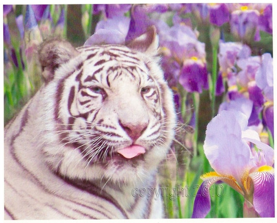 White tiger in a Field of Irises, 8x10 Fine Art Photographic Print