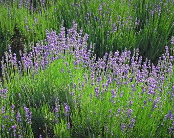 Lavender Buds - from the Northwest - Fragrant - Sachet