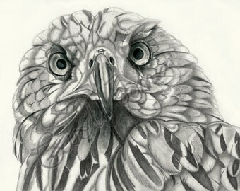 Red Kite pencil drawing - A4 limited edition print