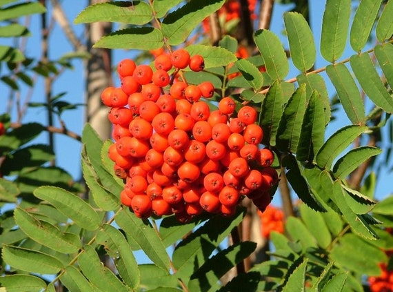 Rowan Berries - Wildcrafted for Cooking, Crafting and Folk Magic