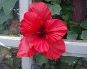Red Gladiola Hair Clip