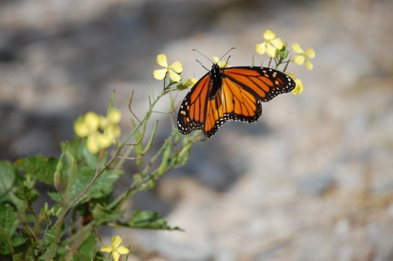 Migrating Monarch - Photo Note Card