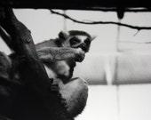 Nail Biting Lemur - Black and White photograph