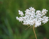 Queen Anne's Lace - White Blossoms - White Flowers on Green - Fine Art Photograph