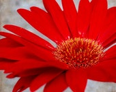 Red Daisy Square Format - Fine Art Photograph