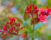 Reaching - Red Buds - Red Flowers - Red Blooming Tree - Fine Art Photograph by Kelly Warren