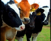 Family Reunion - Cow Art - Cow Photo - On the Farm - Fine Art Photograph by Kelly Warren