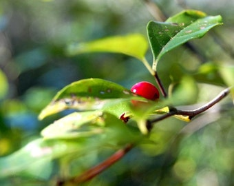Berry Perfect - Nature Photo - Berries - Fine Art Photograph