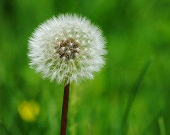 Dandelion Wishes - Nature Photo - Dandelion - Fine Art Photograph by Kelly Warren