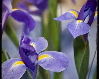 Bliss - Nature - Iris Photo - Fine Art Photograph by Kelly Warren