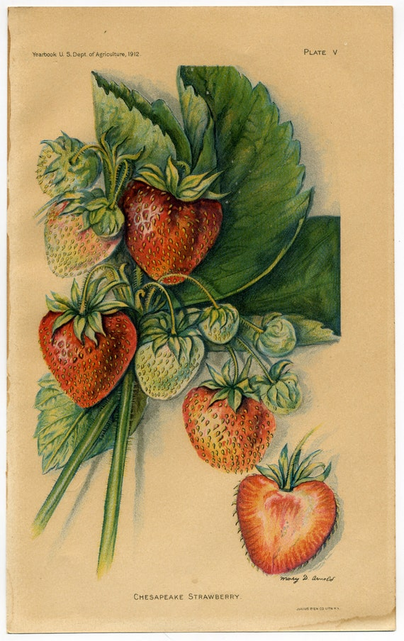 vintage botanical prints of strawberries, French and American, set of 3, dated 1903-1912