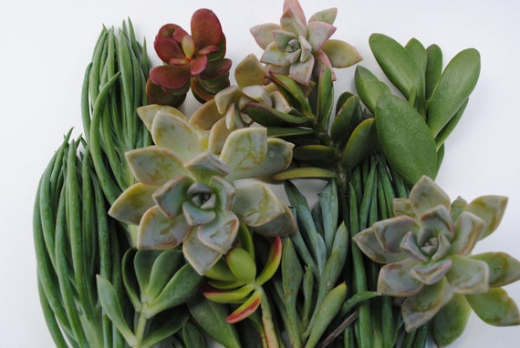 succulent plant cuttings variety small box of desert garden cuttings