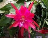 Epiphyllum 'Desert Evening XXL Fragrant Flower- 1 Cutting Orchid Cactus