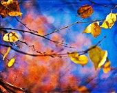Fall Autumn harvest nature under 50 gold golden orange cobalt blue yellow texture colorful leaves women - Fine Art Photography Print