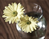 Nature Photography romantic home decor wall decor Yellow photo soft flowers daisies women 2 two spring - Two daisies - 8x10 Fine Art Print