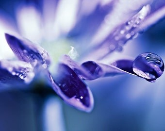Plum Purple under 100 flower rain water drops white romantic spring photograph - Choose any print as a 16x24 - Fine Art Photography Print