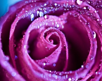 Macro Photography nature Romantic love pink under 25 purple water drops rain soft flower rose decor for her colorful - Fine Art Photograph